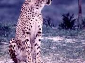 How Long Does a Cheetah Live?
