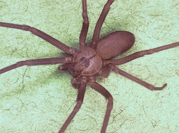 How to Identify the Brown Recluse Spider