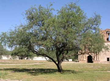 What Is a Mesquite Tree?
