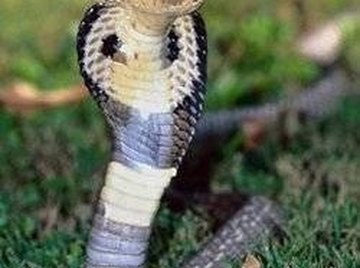 Why Does a Cobra Have a Hood?