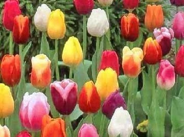 How Does a Tulip Reproduce?