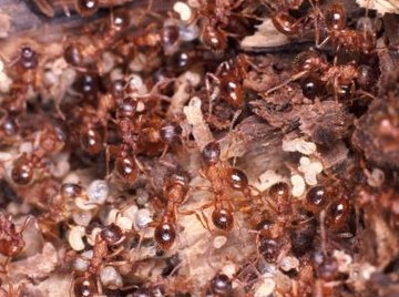 What Do Queen Ants Look Like?