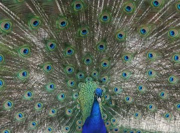 How Does a Peacock Find Food?