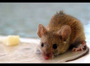 How Does a Mouse Find Food?