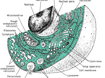 The Structure of a Eukaryotic Cell