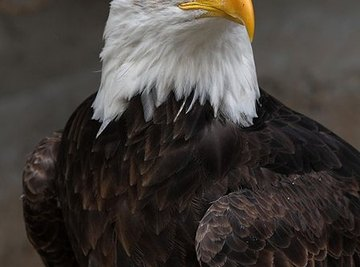 How Long Do American Bald Eagles Live?