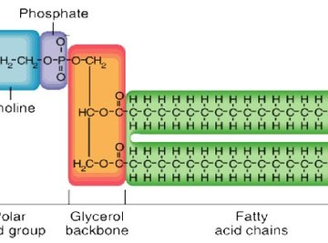 Diagram of a phospholipid, Uic.edu