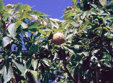 Uses for Buckeye Trees