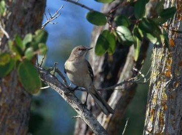 Mockingbirds have subdued plumage, but their vocal abilities are impressive.