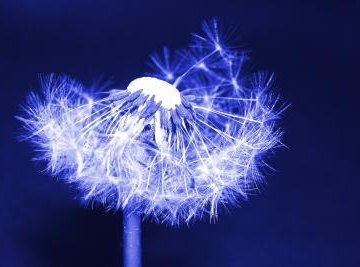 Popular folklore says that you can get a wish granted by blowing on a dandelion's seeds and scattering them.