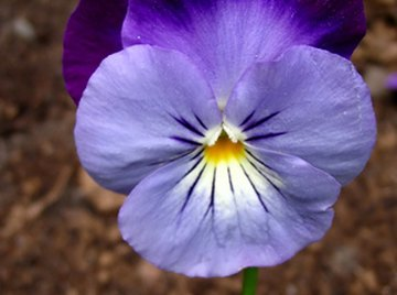 Pansies have many uses.