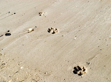 It can be difficult to distinguish between the tracks of various canine species.