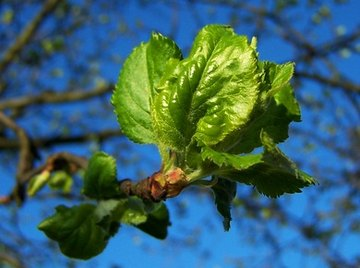 In the spring, buds open to produce new leaves.