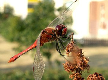 How to Pin a Dragonfly