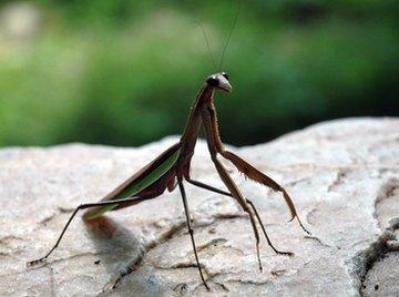 Body Parts of a Praying Mantis