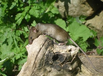 The common field mouse is native to parts of Europe and Asia.