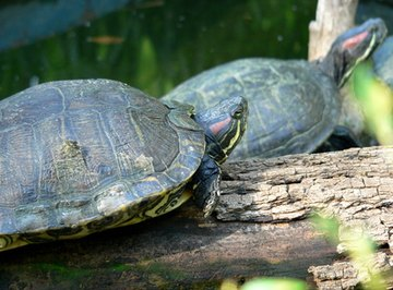 How to Identify Oklahoma Water Turtles