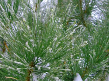 White pine is still an important paper-producing tree.