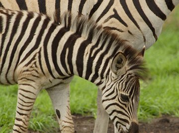 Facts on Zebra Babies