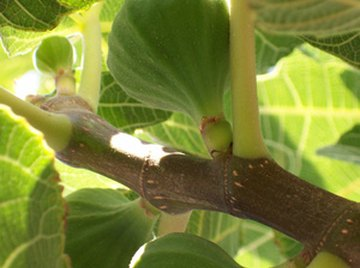 Fruit bats and other animals are responsible for the spread of fig seeds.