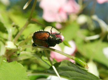 Complaints of Japanese beetle damage have been increasing over the past few years.