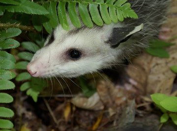 Adaptation of an Opossum