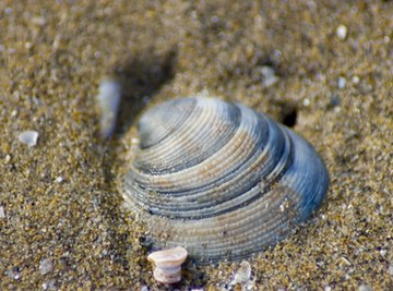 Clams use the material around them to build their shells.