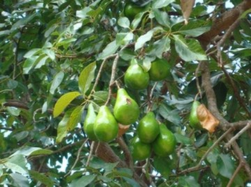 A pear tree provides fruit, shade, and can beautify a yard.