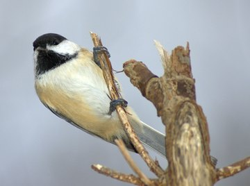 How to Distinguish a Male & Female Chickadee