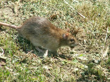 Rats are the largest rodent pests that people deal with on a regular basis.