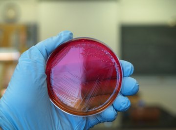 Chemosynthetic bacteria produce their own food from chemical compounds.