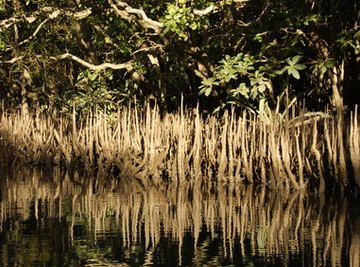 Mangroves are one species of plant that can live on land and in water.