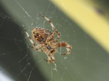 A brown recluse spider weaves a web on a house.