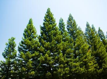 How Do Pine Trees Reproduce?
