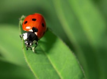 Difference Between Male & Female Ladybugs