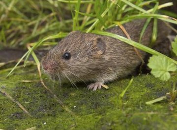 A vole walks across a mossy floor underneath blades of grass.