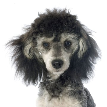 What Is A Phantom Poodle Animals Momme