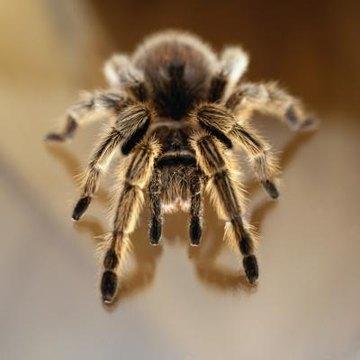 Image result for tame tarantula