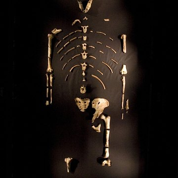 "3.2 million year old fossilized remains of ""Lucy"", the most complete skeleton found of Australopithicus humanoid"