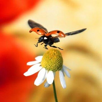 Why Are Ladybugs Considered Good Luck? | Animals - mom me