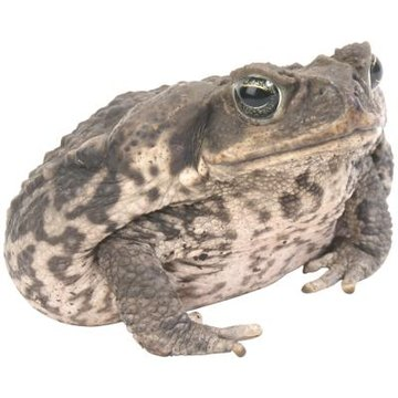 Why Do Frogs Close Their Eyes While Eating Animals Momme