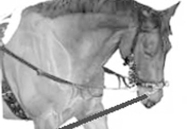 How to Lunge a Horse in Side Reins