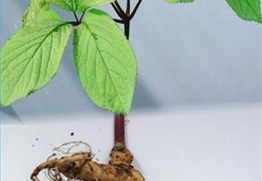 About Different Types of Ginseng