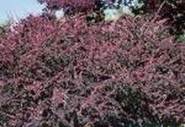 How Does a Barberry Bush Grow?