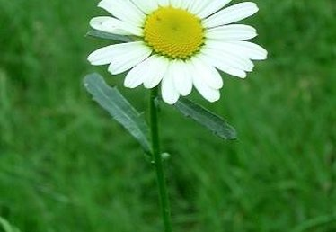 Facts About Daisy Flowers
