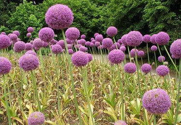 How to Care for Alliums