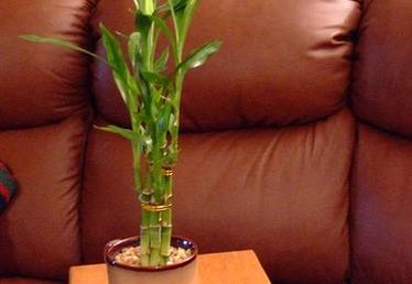 Care for Lucky Bamboo Plants