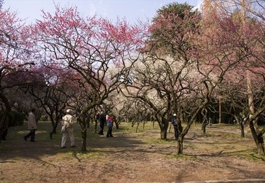 Varieties of Flowering Plum Trees
