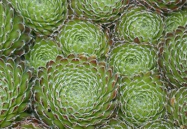 Care of Hens and Chicks Plants