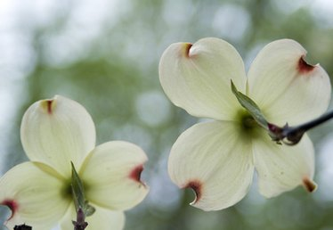 Can Dogwood Trees Be Planted in Full Sun?